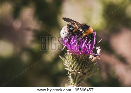 Bumblebee Seating  On Thistle Flower
