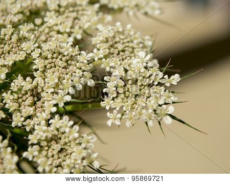 Flowers Of Carrot Seeds