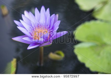 Lotus Water-Lily floating on water in a Park in Thailand