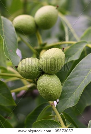 Immature Green Walnuts On The Tree