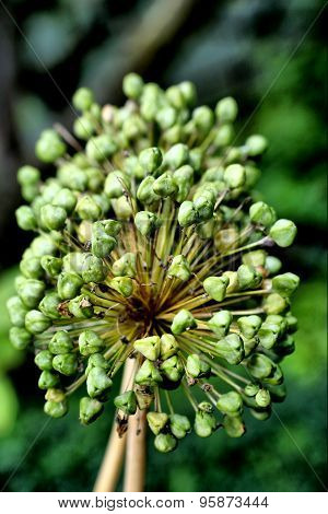 onion umbel  after blossoming on the summer background