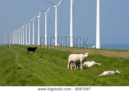 Sheep Along The Dutch Coast With Windmills