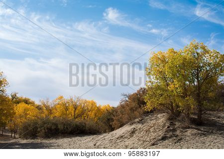Poplar Trees In Autumn Season With Yellow Leaves And White Clouds On Sky