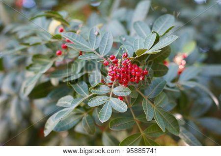 Schinus Terebinthifolius, Brazilian Pepper, Aroeira, Rose Pepper, Christmasberry