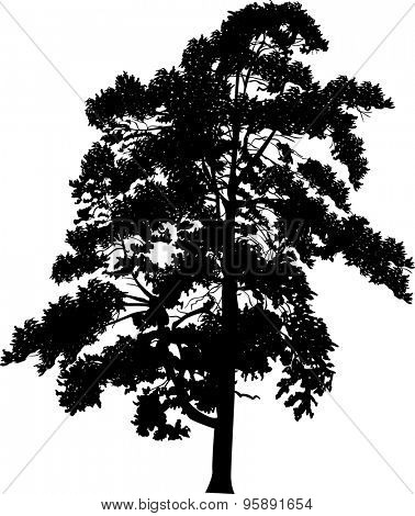 illustration with single black pine silhouette isolated on white background