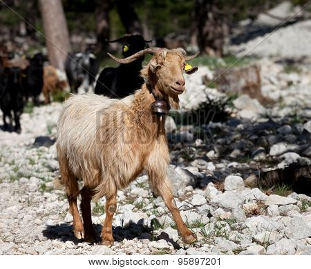 Goats In Forest