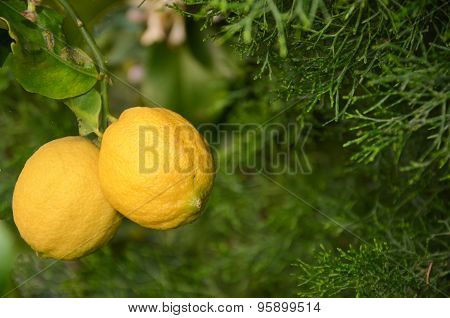 Focus On 2 Ripe Yellow  Lemons On The Tree With Leaves And Foliage