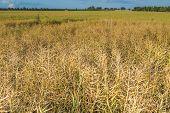 image of rape-field  - Landscape of rape field at summer - JPG