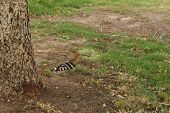picture of peculiar  - Hoopoe foraging on a green grass - JPG