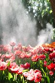 stock photo of rain  - Red Tulips Under Spring Rain Red tulips under a sprinkler that made a rainbow and gave a rain effect - JPG
