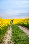 stock photo of rape-field  - Dirt path through farm country with yellow oilseed rape field and blue sky - JPG