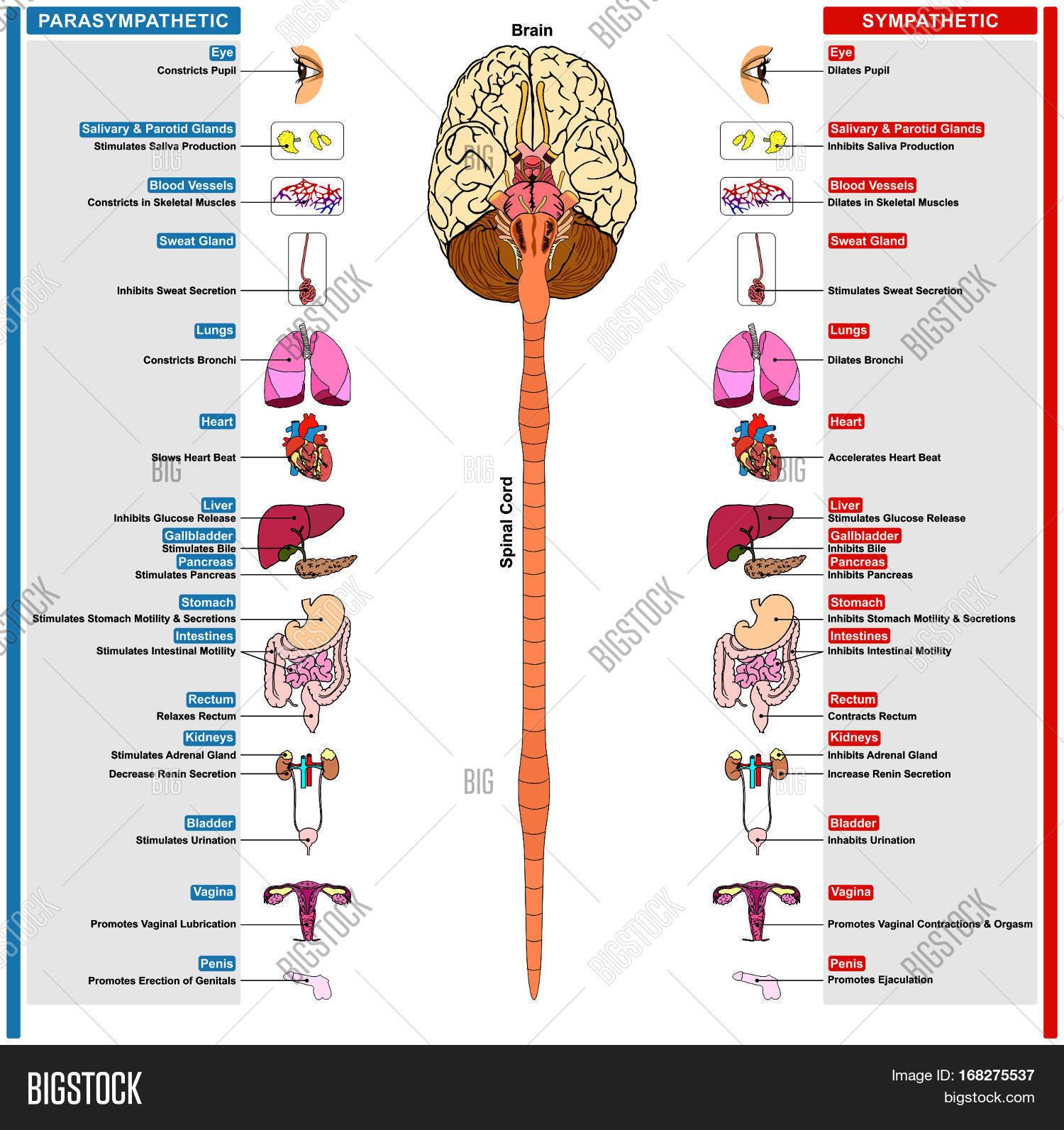 Autonomic Nervous Syst...