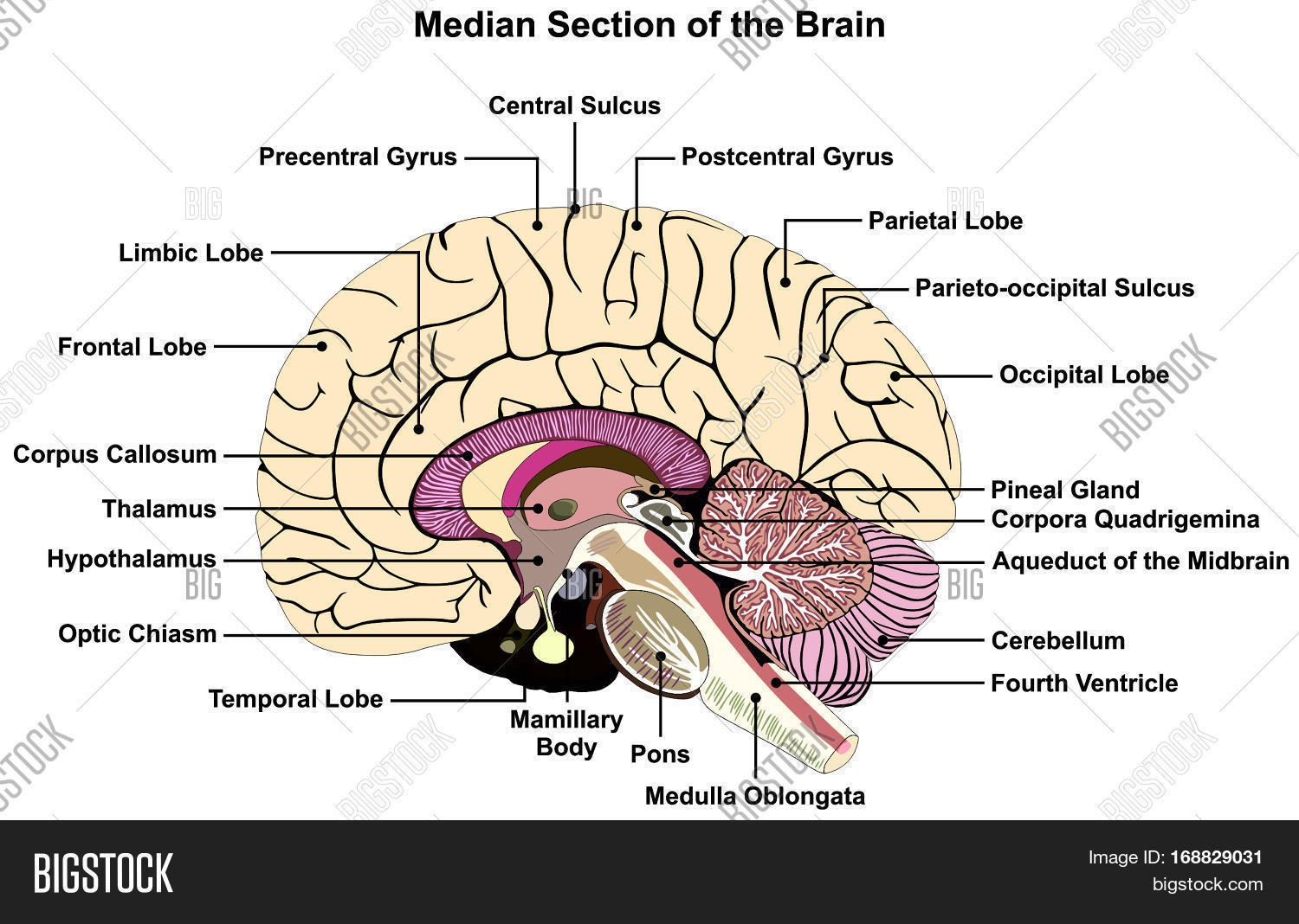 Median Section of Human Brain Anatomical structure diagram ...