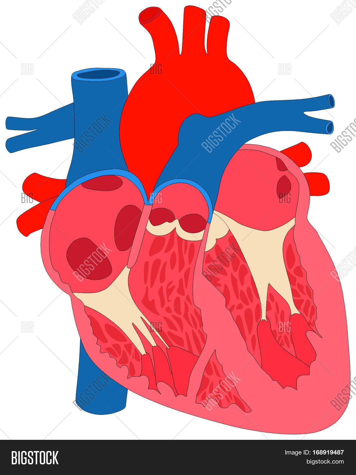 Human Heart Muscle Anatomy Cross Image & Photo | Bigstock