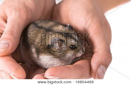 Dwarf hamster in woman hands