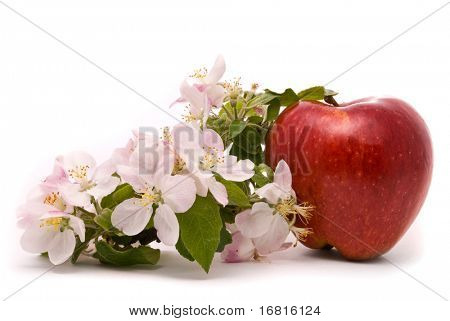 Ripe Red Apple and apple-tree blossoms on a white background