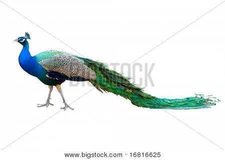 Peacock isolated on white. Saved with clipping path.