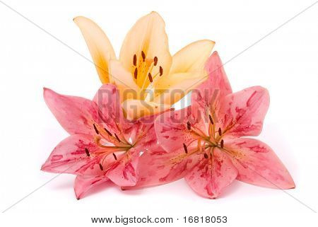 Yellow and Pink lilies on a white background