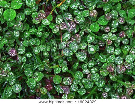 green wet Trifolium background fine closeup image