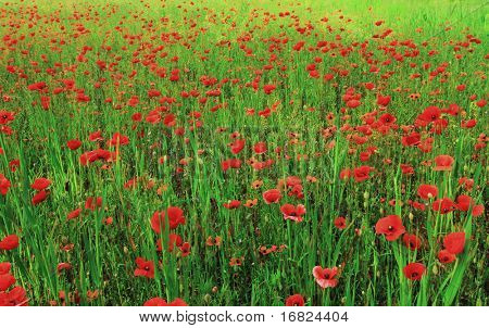 nice view of classic poppy field natural background