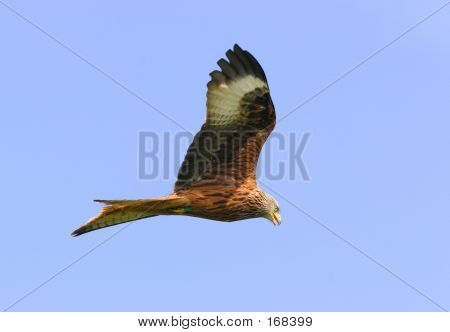 High Flying Red Kite