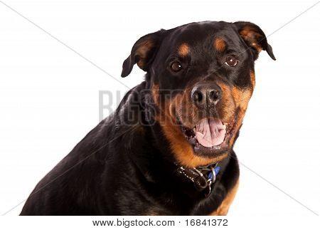 Isolated Female Rottweiler