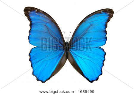 Butterfly In Blue Tones  Isolated On A White Background
