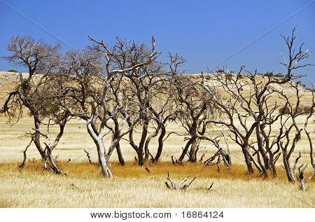 Barren Trees In Australian Outback