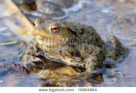 True toad - closeup