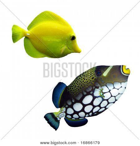 Tropisches Riff-Fische