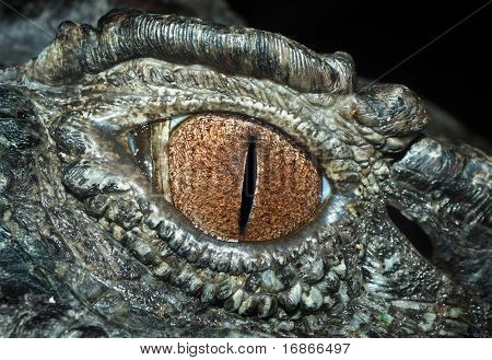 Eye of The Crocodile