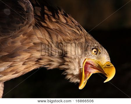 Attacking Golden Eagle