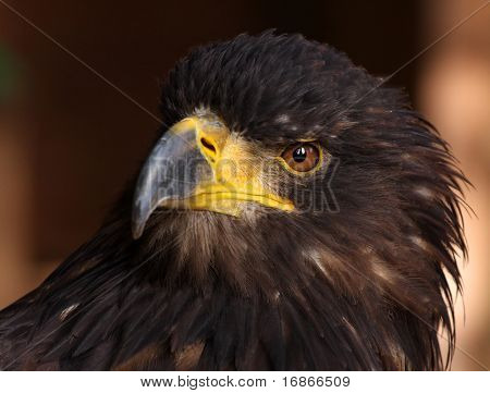 Close-up picture of a Golden Eagle