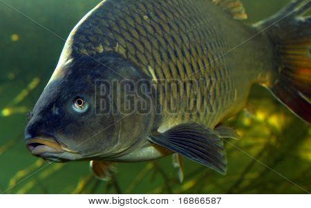 Foto submarina Cyprinus Carpio grande en la ciudad de Pilsen de estanque de Bolevak - anglig famoso y lugar de buceo-