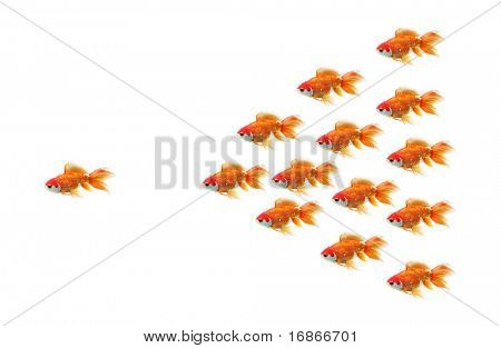 Goldfish race