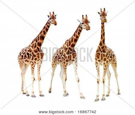 Drei giraffe