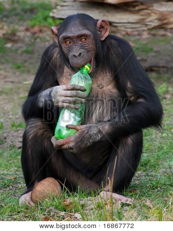A photo of a chimpanzee and plastic bottle in Zoo Pilsen - Czech Republic - Europe