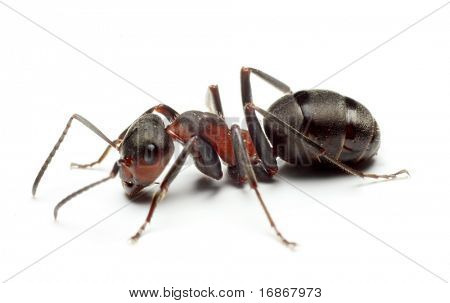 Big Forest Ant Isolated on White Background
