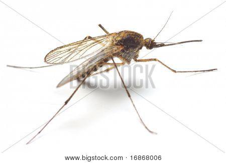 Mosquito Anopheles - perigoso veículo de infecção - isolado no fundo branco