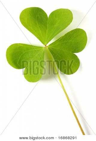 Trifolium isolated on white background