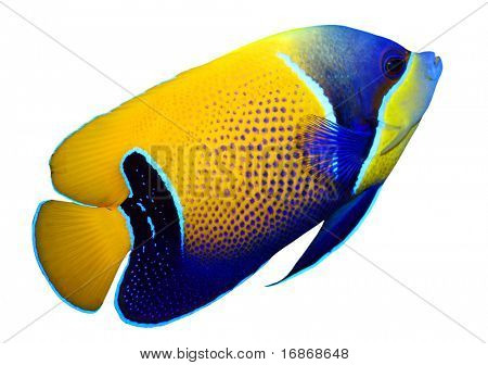 Tropical reef fish - Majestic Angelfish (Pomacanthus navarchus) - isolated on white background