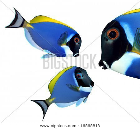 Tropical reef fish - Surgeonfish - Zebrasoma - collection isolated on white background