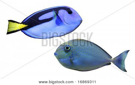 Tropical reef fish - Surgeonfish - collection isolated on white background