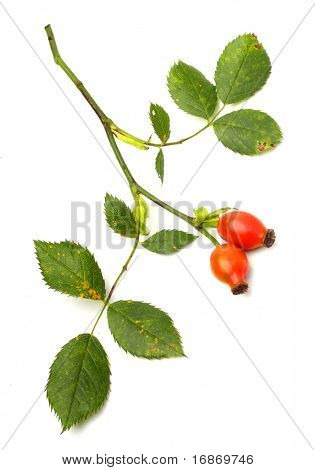 Rosa canina - Dog Rose.The plant is high in certain antioxidants. The fruit is noted for its high vitamin C level and is used to make syrup, tea and marmalade