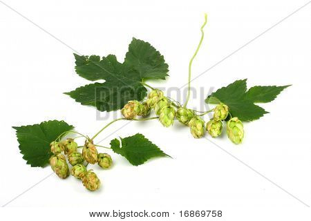 Humulus lupulus (Common hop) are used in the production of beer to impart bitterness and flavor, and for their preservative qualities.