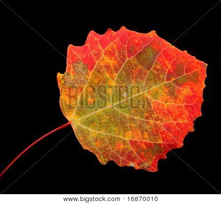 Autumn aspen leaf on a white background