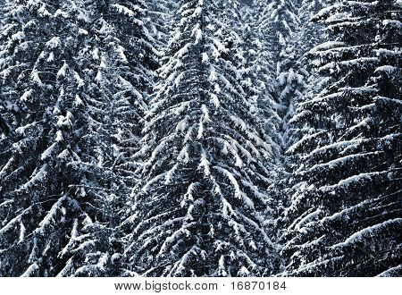 Snow-cowered trees in National park Sumava - Czech Republic Europe. Monochrome photography.