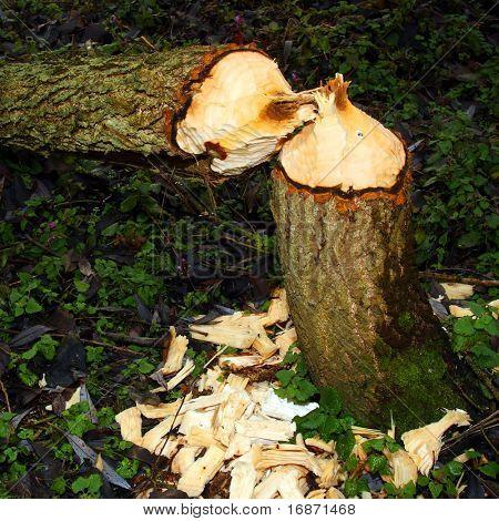 Willowtree taken down by beaver on a bank Radbuza River off Pilsen City. Czech Republic - Europe