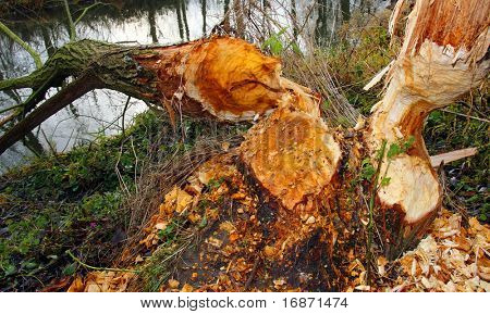 Willowtree taken down by beaver on a bank Radbuza River off Pilsen City. Czech Republic - Europe