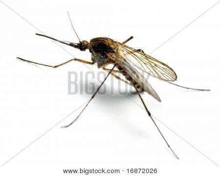 Anopheles-Mücke - gefährliche Fahrzeug der Infektion - isoliert auf weißem Hintergrund